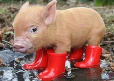 Galoshes (def. if you're going to Glastonbury or Bonnaroo (oh...also a little pig)