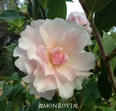Jury's Pearl Camellia, large pearl white flowers have a pink blush and yellow stamens. A beautiful mid season bloomer.