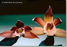 Phaius australisclose