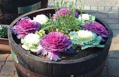 Ornamental kale, chrysanthemums, pansies, and asters for fall planter ideas