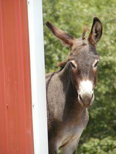 Zachariah,  the donkey.  Photo by Saskya.
