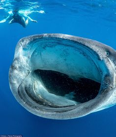 Pierce dives with whale sharks in the hope of discovering a way to preserve the gigantic sea creature and the small population of pups