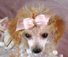 Precious the teacup poodle puppy for sale #poodle #dog #puppy #teacup #sale #forsale