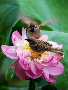 Eurasian Tree Sparrows (Passer montanus) Europe and Asia