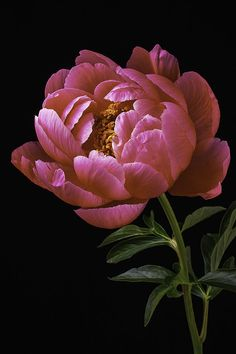 Beautiful Peony Photograph by Garry Gay