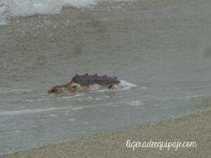 Por primera vez al agua! Liberación de #tortugas marinas en las playas de #SantaMarta #freedom #ocean #underwater #dive #travel #nature #Colombia # #PlanetEarth