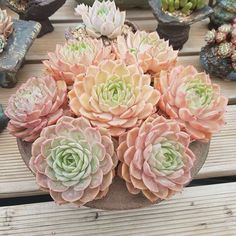 Echeveria Onslow So pleasing to the eyes Succulent Landscaping, Succulent Gardening, Succulent Terrarium, Cacti And Succulents, Planting Succulents, Planting Flowers, Succulent Arrangements, Echeveria, Sempervivum