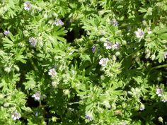Geranium pusillum - Graham Calow - Bridge Lane, Witherley - 23 May 2016