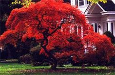 Acer palmatum Fireglow - Polymorphum Japanese Maple Tree (Acer Japonicum may be better for zone 5):