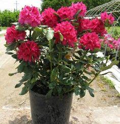 rhododendron Nova Zembla - Google-søk