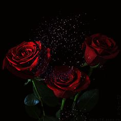 Discover & share this Animated GIF with everyone you know. GIPHY is how you search, share, discover, and create GIFs. Beautiful Rose Flowers, Love Flowers, Rosas Gif, Dark Red Roses, Rose Video, Morning Rose, Animated Gifs, Look Dark, Flower Phone Wallpaper