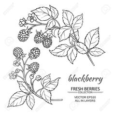 Buy Blackberry Vector Set by on GraphicRiver. blackberry plant vector set on white background Art Inspiration Drawing, Tattoo Inspiration, Blackberry Tattoo, Blackberry Plants, Fruit Tattoo, Plant Tattoo, Plant Vector, Tattoo Kits, Plant Drawing
