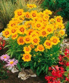 Krásnoočko - nenáročná a vhodná květina k řezu. Nakvétá opakovaně a neúnavně po celé léto. Nejlépe vynikne jeho zářivá barva na plném slunci.