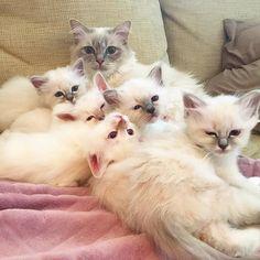 Lunch time! #minivaniljer #minivaniljerna2016 #birma #birman #breeder #catsofinstagram #chokladochvanilj #kitten #pinkalicious #welovecats #we_love_cats