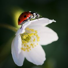 Photo Ladybug by Eva Lind on 500px