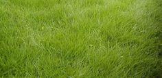 Conheça o tipo de grama mais adequado para cada jardim - 23/03/2011 - UOL Estilo de vida