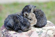 French Angora X Mini Lop Rabbits vjmarisphotos