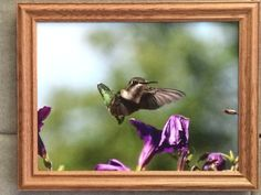 Medium 12 by 16 inch Hummingbird by CrazySwanPhotography on Etsy