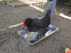 Pvc Chicken Feeder, Portable Chicken Coop, Backyard Chicken Coops, Chicken Coop Plans, Building A Chicken Coop, Diy Chicken Coop, Chickens Backyard, Chicken Garden, Chicken Tractors