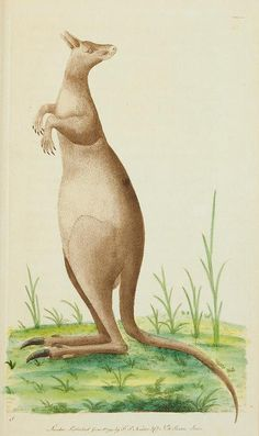 Kangaroo, The Naturalist's Miscellany, or Coloured Figures of Natural Objects, George Shaw, Printed for Nodder & Co., London, 1789-1813
