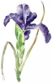 - Bouton d'iris des Pyrénées