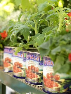 would never have thought of growing tomato plants in tomato cans!