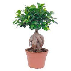 Figovník maloplodý Ženšen priemer kvetináča cca 17cm