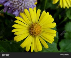 A yellow daisy provides a bright splash of color in the garden. ©Photo copyright by Marty Nelson. Photographer website: http://www.bigstockphoto.com/search/?start=150&contributor=Marty+Nelson+Photo+Art&safesearch=n