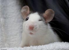 *Wink* rattie cuteness