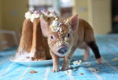 Teacup Pigs Richard Austin - piglet and the cake Cute Baby Pigs, Cute Piglets, Baby Piglets, Baby Animals, Funny Animals, Cute Animals, 1366x768 Wallpaper, Miniature Pigs, Teacup Pigs