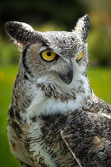 68afc29f The Great Horned Owl - Great Smoky Mountains National Park | Tats I ...