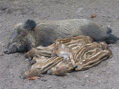 Sleeping boar family