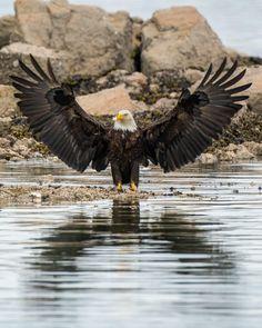 Birds Of Prey, Bald Eagle, Animals, Instagram, Canada, Places, Photos, Ideas, Animales