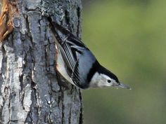 White-breasted Nuthatch (Sitta carolinensis) by Dick Daniels Black And White Birds, Conservation, Wildlife, Breast, World, Animals, Image Search, Families, Environment