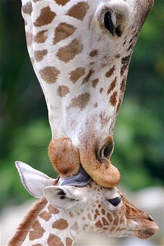 An African giraffe licks its 4-day-old baby at Malaysia's National Zoo.