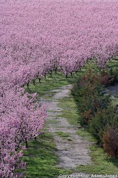 Peach tree orchard in full bloom, Lancaster, California, USA.