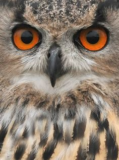 The Barn Owl Centre - Eagle Owl Photos - The Barn Owl Centre is a UK registered Barn Owl charity