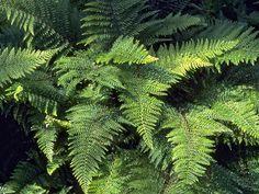 Polystichum setiferum 'Herrenhausen', 60-75cm everygreen.