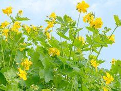 Nem tudsz megszabadulni a szemölcstől? Így biztos sikerül! - Megelőzés - Test és Lélek - www.kiskegyed.hu Herb Garden, Health And Beauty, Herbalism, Nature, Flowers, Plants, Google, Herbal Medicine, Naturaleza