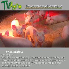 #AnotaElDato Sabias que... Los cerdos tienen una alta capacidad reproductiva y pueden llegar a vivir hasta veinte años.