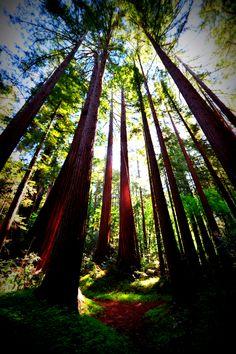 Henry Cowell State Park, Felton, CA