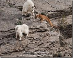Mountain Lion Attacks | in and frightened of a mountain lion attack. The mountain lion ...