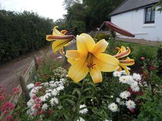 Lily's in my front garden.