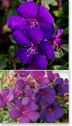 Tibouchina Groovy Baby Height: spread: Full Sun Full Sun/Part Shade Dry Shade Tolerant Plants, Small Shrubs, Garden Projects, Garden Ideas, Herbaceous Perennials, Landscaping Plants, Back Gardens, Baby Grows, Home And Garden