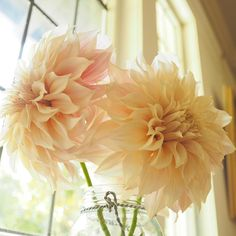 More loveliness from the Cafè au Lait dahlias. . Home grown by @cultivatedbychristin
