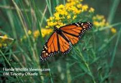 Migrating Monarchs in Florida: In Florida, the St. Marks National Wildlife Refuge near Tallahassee is perhaps the best place anywhere to see large numbers of monarchs. On a good day, they are easy to count in the hundreds or thousands. Monarchs are present between the first of October and the middle of November.
