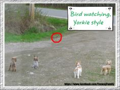 Dog Meme, Yorkie, https://www.facebook.com/FenwayFamily