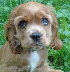 """I think this defines """"puppy-dog eyes.""""  Benjamin (Cocker Spaniel), you brought tears to my eyes with those puppy-dog eyes!"""