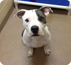 ***1-9 - URGENT - 2/5/17  Ohio County Animal Shelter in Triadelphia, WV - ADOPT OR FOSTER - 1 year old Female Pit Bull Terrier Mix  She was found as a stray by Castleman's Lake in November. She was so skinny when found, it took this long to get her to a healthy weight. She is now available for adoption. Should be only pet for now.