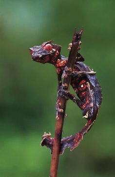 Satanic Leaf-tailed Gecko, showing a little more of how it earned its name.  Man, I want love to have one of these guys as a pet.